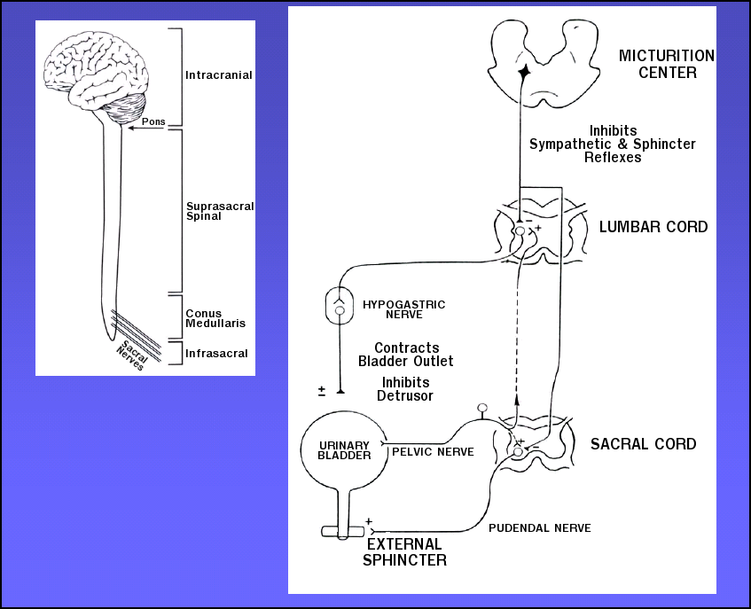 urinary bladder anatomy