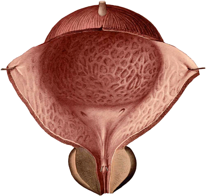 Bladder (Urinary), Anatomy, Location, Parts and Pictures,