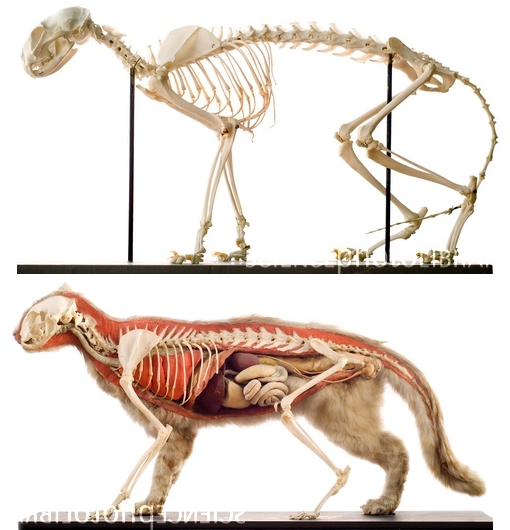 Links to Pictures on the Physiology of Cats