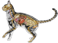 cat internal anatomy #3