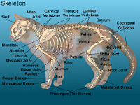 cat skeleton #1