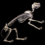 cat skeleton #9