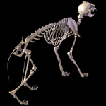 cat skeleton #10