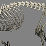cat skeleton #12