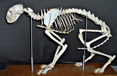 cat skeleton #14