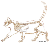 cat skeleton #15