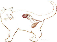 cat urinary system, female