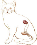cat urinary system, male